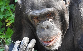 Chimpanzee photograph